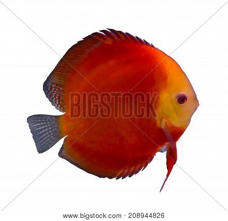 Red Melon discus fish isolated in a white background