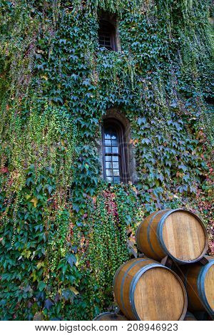 Thick ivy in the changing colors of fall hang on a brick wall with narrow windows and wine barrels in front.