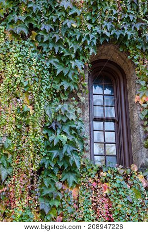 A narrow window recessed in a brick wall surrounded by ivy of various sizes and in the changing colors of fall.