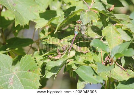 Common Green Darner (Anax junius), Dragonfly, on a green leaf of a bush.