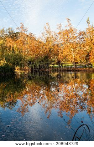 A calm pond reflecting the glowing orange leaves on deciduous trees with afternoon sunshine.
