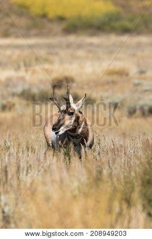 a pronghorn antelope buck on the Wyoming prairie in fall