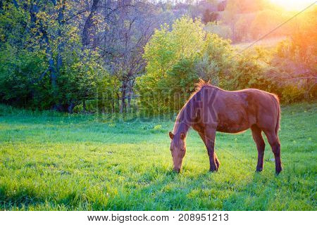 Beautiful chestnut mare on a farm in Central Kentucky at sunset