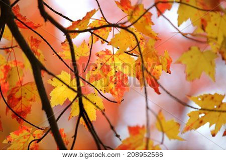 Colorful Maple leaves back-lit in autumn time