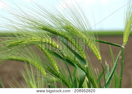 wheat detail