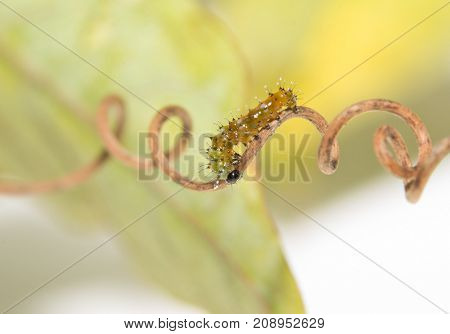 Two day old Gulf Fritillary butterfly caterpillar walking on a spiral tendril of passion flower plant