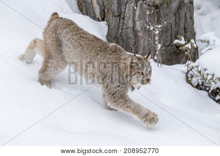 A bobcat hunts for prey in a snowy forest habitat.