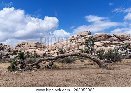 After decades of growth a large Joshua tree has give away to time and lies dying in the Mojave Desert.