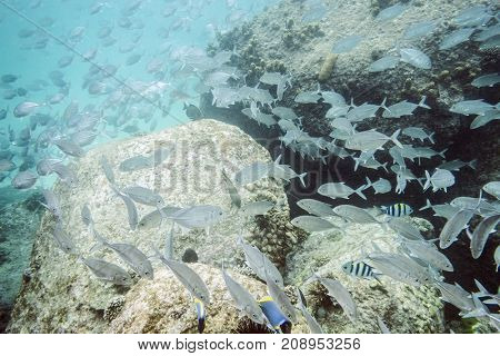 Flock of tropical fish seen under the water in the tropical sea of Seychelles