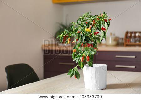 Chili pepper bush in flowerpot on table indoors
