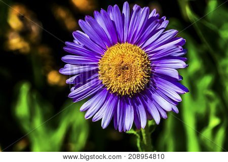 Purple Yellow Subalpine Daisy Erigeron Peregrinus Wildflower Mount Rainier National Park Paradise Pacific Northwest Washington State