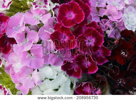 carnation red pink and white blooms in the garden pattern texture