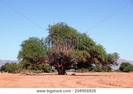 Large Prosopis chilensis tree in the Talampaya National Park, La Rioja, Argentina