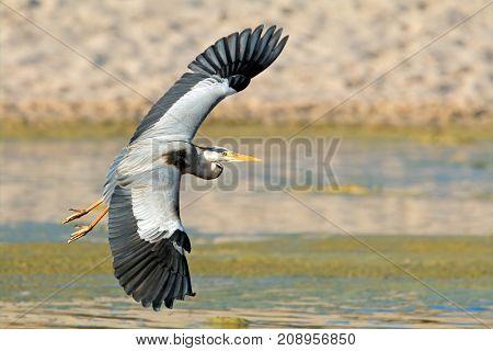 A grey heron (Ardea cinerea) in flight, South Africa