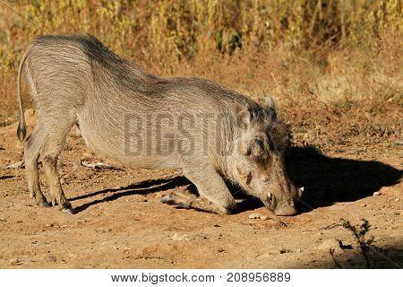 A warthog (Phacochoerus africanus) feeding in natural habitat, South Africa