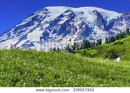 White American Bistort Wildflowers Mount Rainier Snow Mountain Paradise Mount Rainier National Park Washington