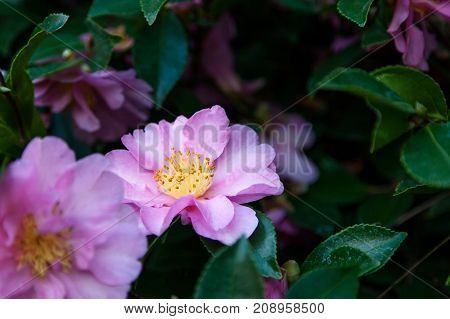 An old-fashioned pink rose bloom tucked in with dark green leaves and other blooms in a soft background.
