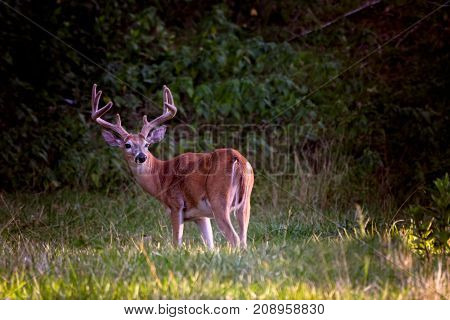 Whitetail buck deer with antlers in velvet