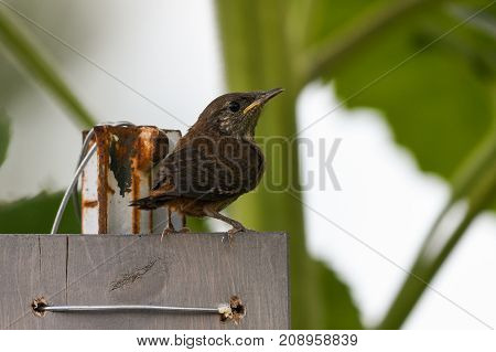 House wren perched on a wooden board