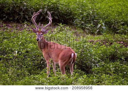 Whitetail buck deer with his antlers in velvet looking behind him