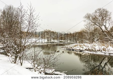 Winter landscape. Several wild ducks swim with the frozen banks.