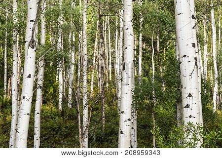 Aspen tree forest.  Aspen bark gives a natural abstract pattern.