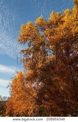 A large deciduous tree in autumn lit by afternoon sunshine showing bright gold orange and yellow leaves.