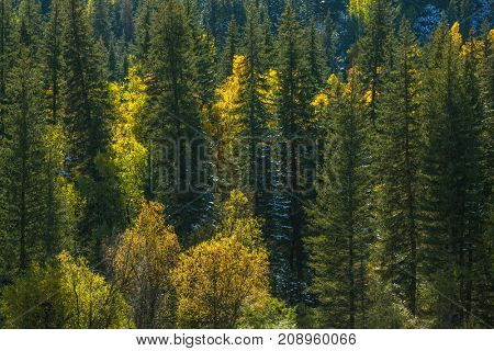 View of autumn forest of the Altay Mountains in Altai Republic, Russia.