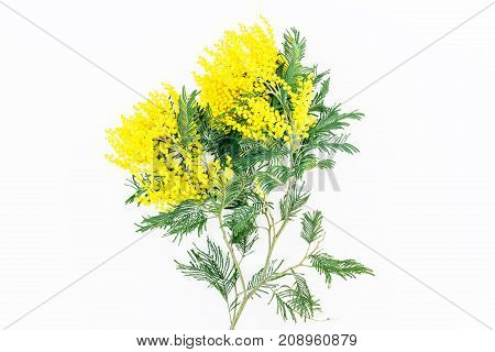Yellow mimosa on white background. Flat lay, top view.
