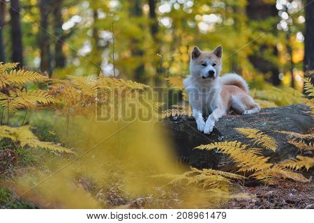 Funny Japanese Dog Akita Inu puppy in autumn forest