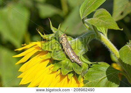 A grasshopper on sunflower plant. Photo demonstrates insect mimicry.