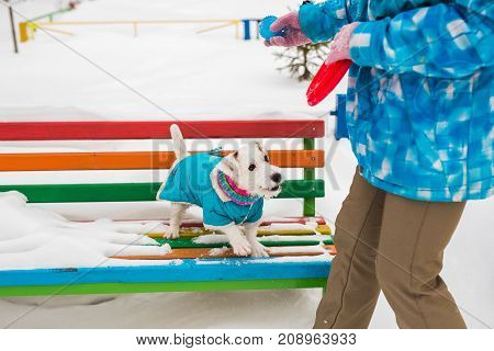 Jack Russell dog running plays winter walks in the park.