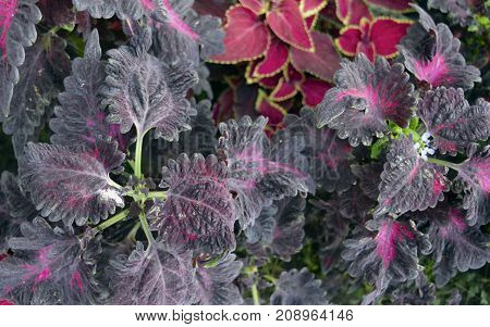 decorative nettles in the flower bed for landscaping in the summer and spring