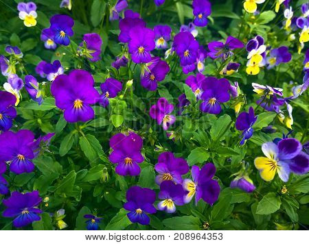 Fragment of a glade with blossoming flowers of a plant Pansies violet tri-color