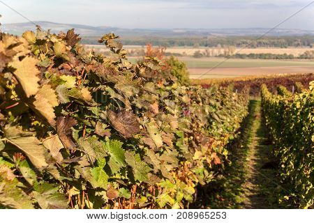 Autumn morning on the vineyard in the Czech Republic. Preparation for harvesting grapes