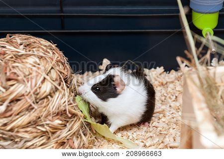 Little black and white guinea pig eating salad leaf.