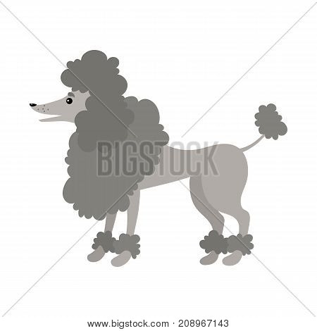 Cartoon poodle. Gray dog on a white background. It can be used for the websites and magazines. Vector illustration.
