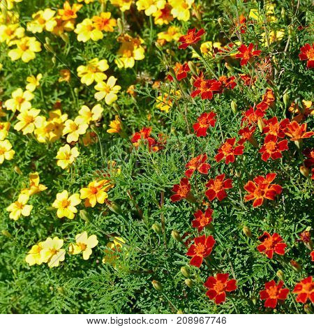 Bright colorful flowers marigolds. Beautiful floral background. Top view.