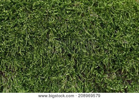 Background of natural moss. The texture of green moss is close-up.