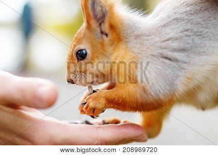 person feeds the squirrel. a funny squirrel eats from the palm of your hand. Feeding animals in the forest.  Focused on mouth