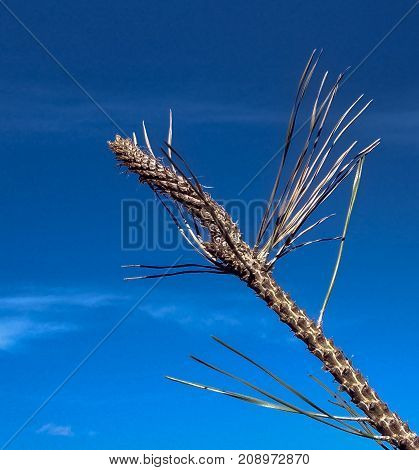 Spiky, dry, wild plant against blue sky.