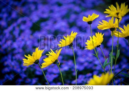 Yellow daisy flowers on background of purple blue aster flowerbed