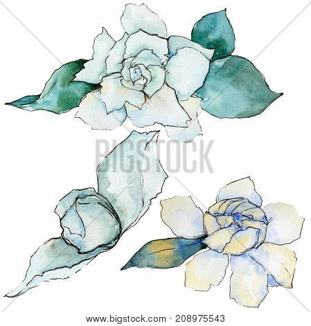 Wildflower gardenia flower in a watercolor style isolated.