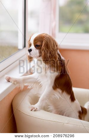 Room Dog  King Charles Spaniel With It Is Red - A White Color Looks Out Of The Window.