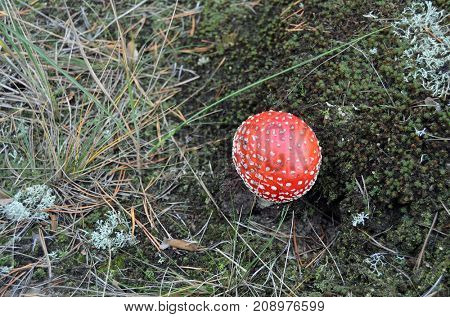 Amanita muscaria, commonly known as the fly agaric or fly amanita.Forest near Kiev