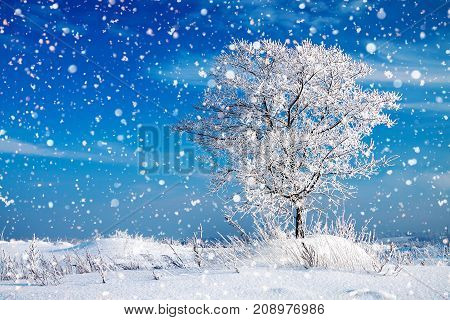 beautiful winter rural landscape with one tree and blue sky. wintry frosty sunny day. snowy winterly landscape.