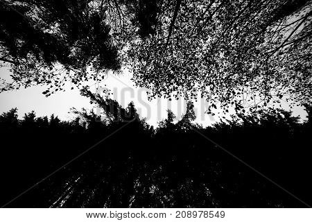 the black-and-white picture of an oriental carpet of the sky between a wall coniferous and the deciduous coniferous forest. Abstract background.