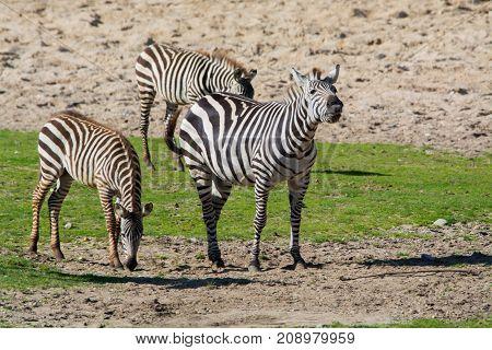 Zebras, Horse Family Animal, Lives In Grasslands, Savannas, Woodlands, Thorny Scrublands, Mountains,
