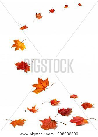 Maple autumn leaves falling to the ground on white background.