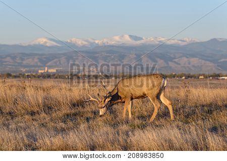 Mule Deer Buck grazing on prairie grass at dawn. Rocky Mountain Arsenal National Wildlife Refuge near Denver.